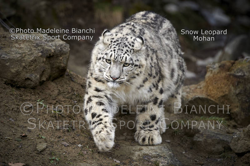 Snow Leopard MOHAN - surely not one of the cowardly appeasers!