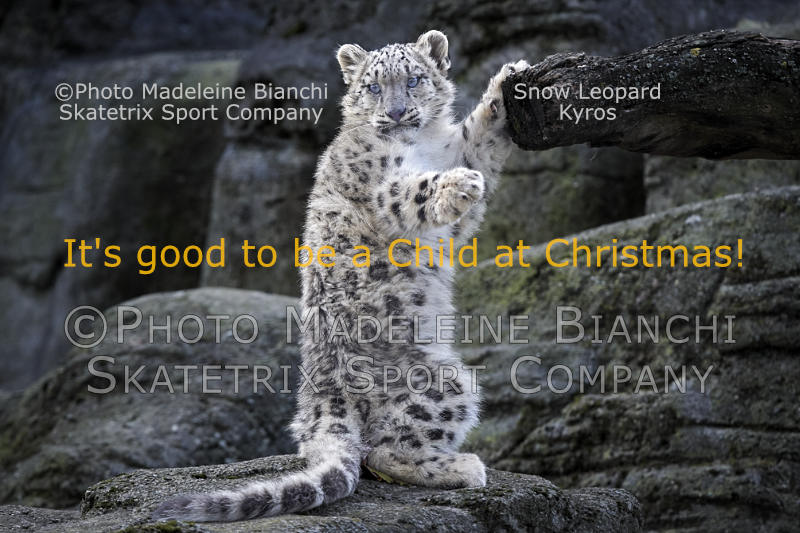 Snow Leopard KYROS - with my little heart I see Christmas!