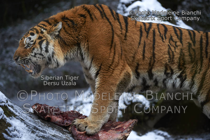 Siberian Tiger DERSU UZALA - «Pecunia non olet!» or «Money has no smell!»