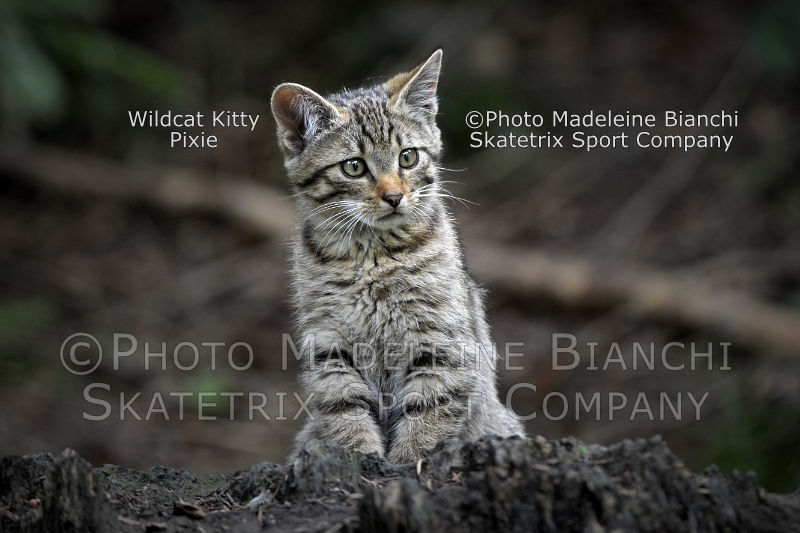 Wildcat Kitty PIXIE - Listen to Alexander von Humboldt and John Muir!