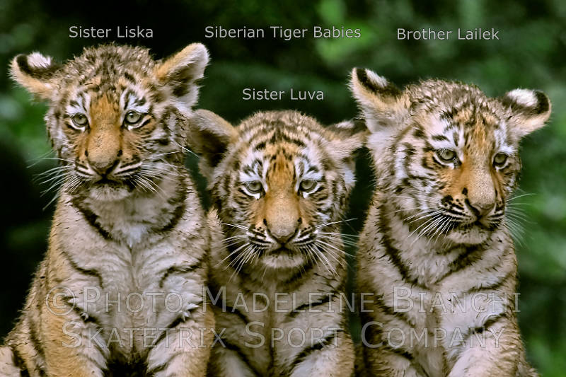Siberian Tiger Kitties LISKA, LUVA, LAILEK - protect us from Chinese Quackeries!