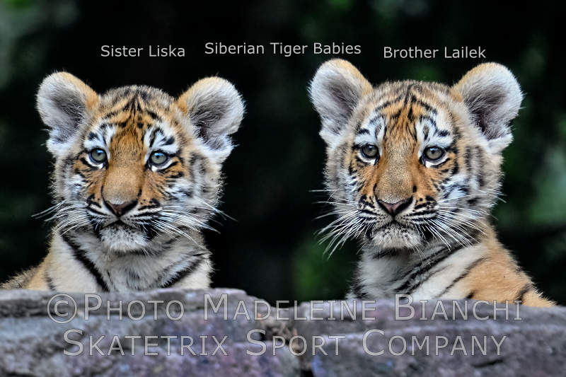 Siberian Tiger Kitties LISKA, LAILEK - human stupidity kills all life on Earth!