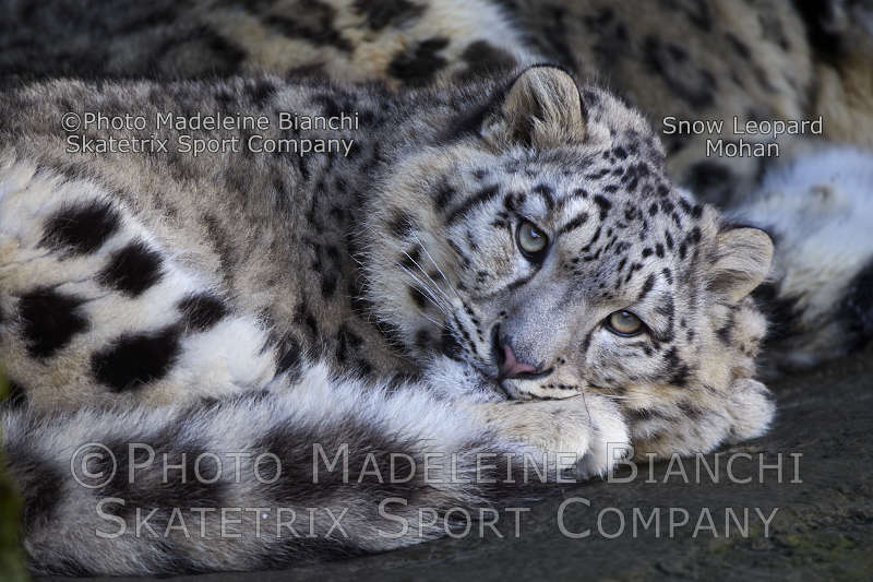 Little Snow Leopard MOHAN - recent usage of Lenin-constant in politics!