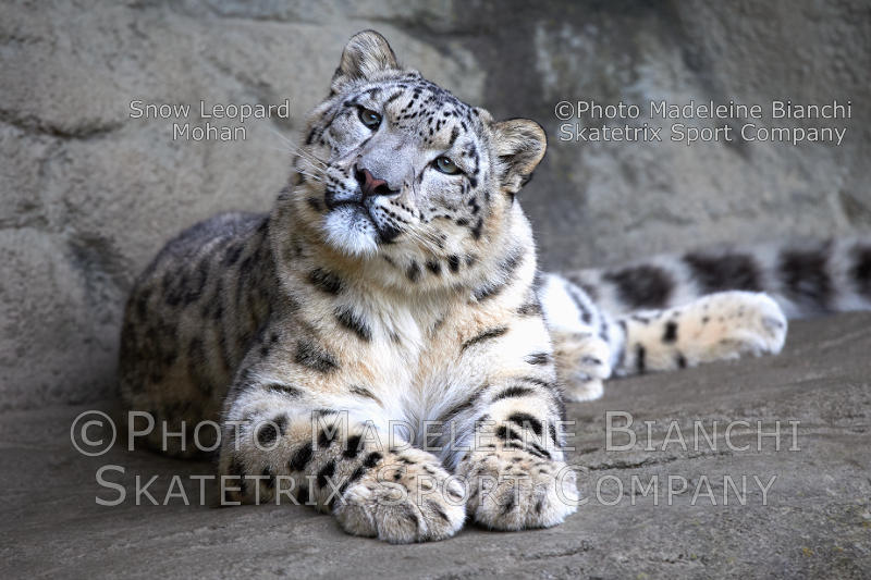 Little Snow Leopard MOHAN - Swiss Diplomacy causes the Global Migration Mess!
