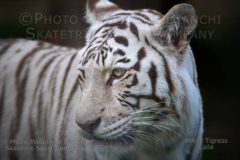 White Tigress LAILA - Dedicated to politicians and stupid voters!