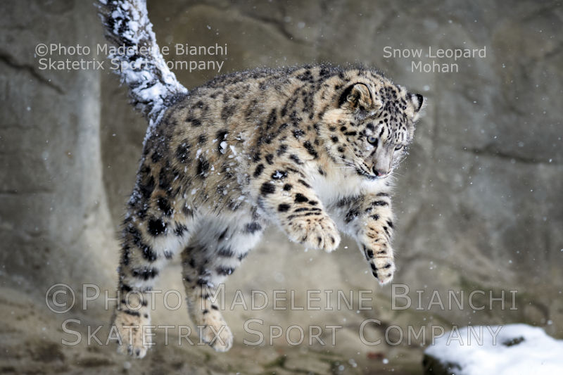 Little Snow Leopard MOHAN - My birthday wish! - Heed for Schopenhauer!