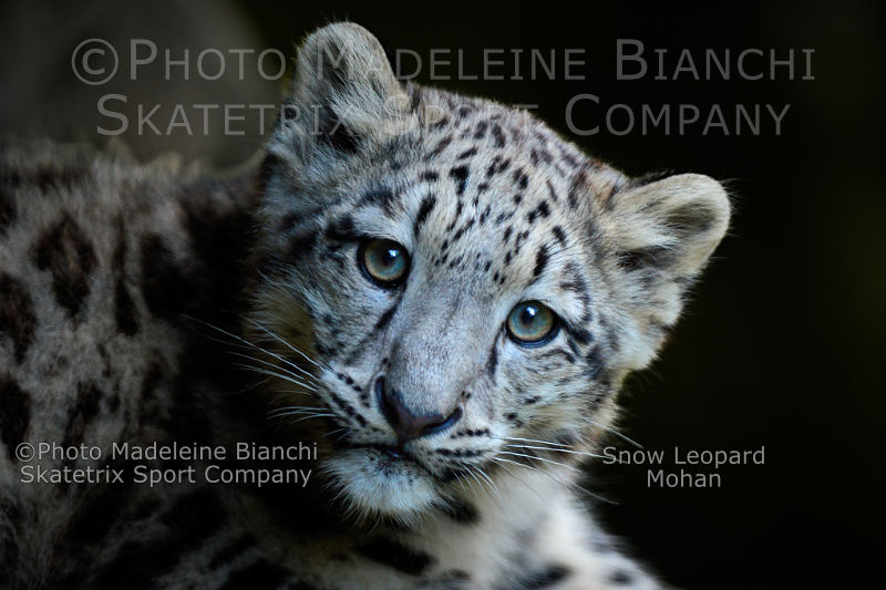 Little Snow Leopard MOHAN - Will you stop, to traduce other people?