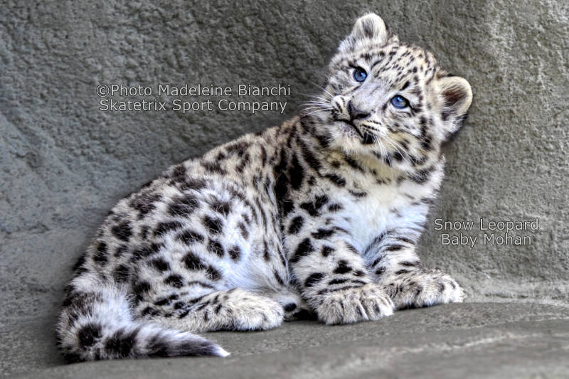 Little Snow Leopard MOHAN - Do you live in abstractions, or in reality?