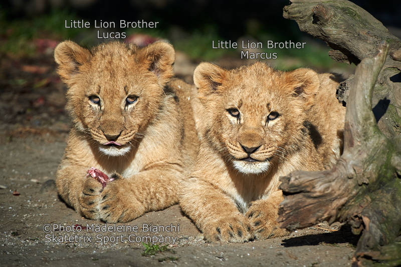 Little Lion Kings - To survive, never run after politicians!