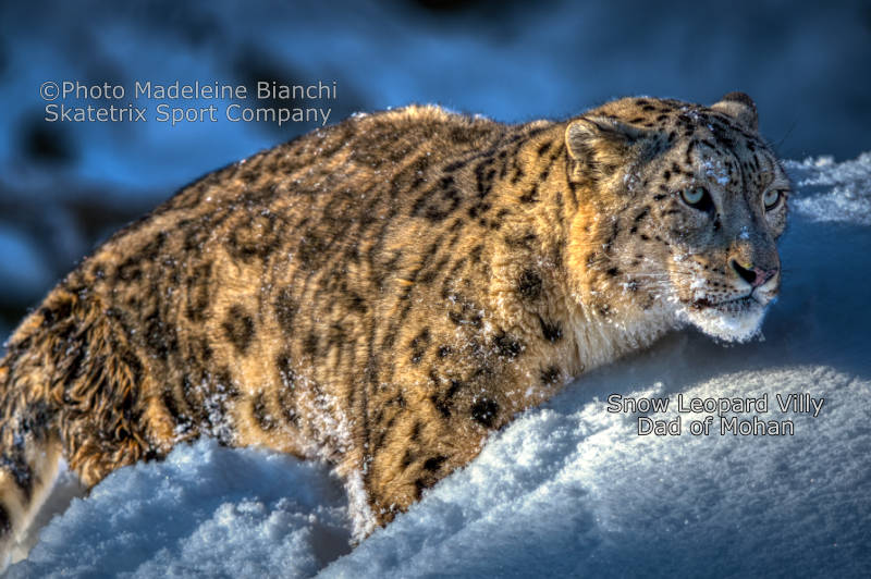 Snow Leopard VILLY - Civilized people - the plague of the Earth!