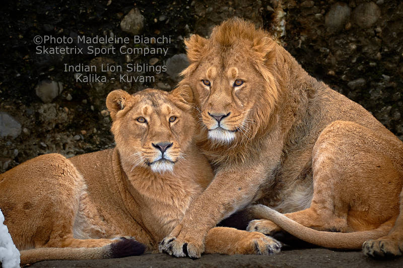Indian Lion Siblings - A message of hope by Fyodor Dostoevsky!!