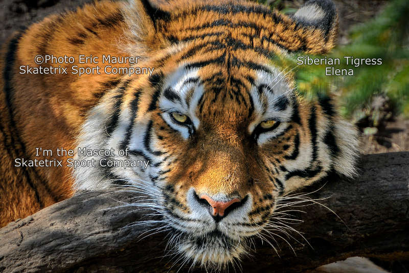 Siberian Tigress ELENA - human stupidity alone causes pandemics!