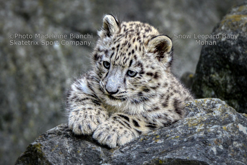 Little Snow Leopard MOHAN - Do you belong to the idiots or to the blind?