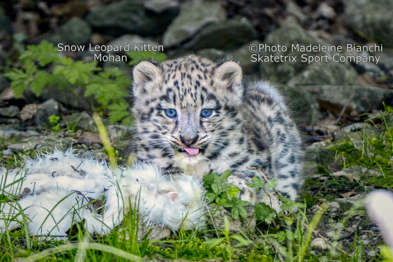 Little Snow Leopard MOHAN - Little Snow Leopard MOHAN - Nature or quite Desperation? Your Choice!